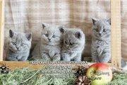 Породистые котята британской короткошерстной
